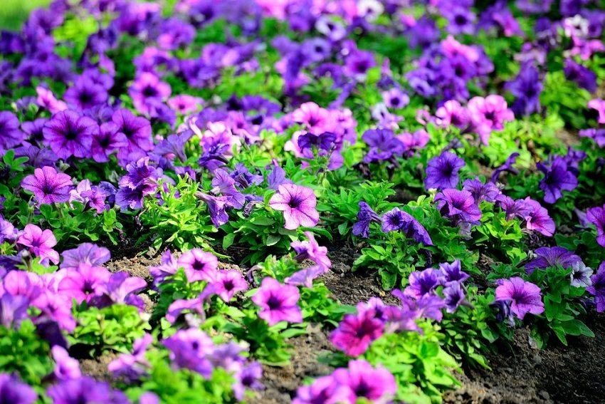 greenspace-petunias-adelaide-review