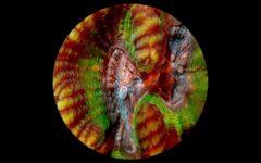 coral-rekindling-venus-adelaide-festival-review