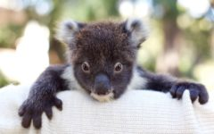 fauna-rescue-south-australia-koala-adelaide-review