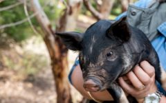 Howie-Hill-Farm-happy-pigs-adelaide-review-ellen-morgan