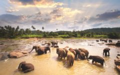coming-going-elephants-Pinnawala-sri-lanka-adelaide-review