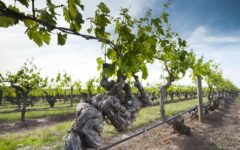 old-vines-south-australia-wine-story-adelaide-review