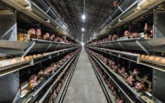 factory-farming-chicken-egg-adelaide-review