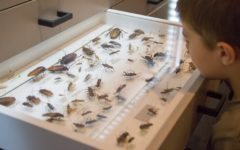 Collected insects at the South Australian Museum's Discovery Centre, Photo: Denis Smith