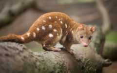 Quoll (Photo: Craig Dingle / Shutterstock