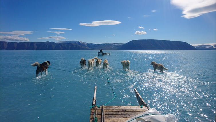 Dogs hauling a sled through meltwater on coastal sea ice during an expedition in northwest Greenland in June last year